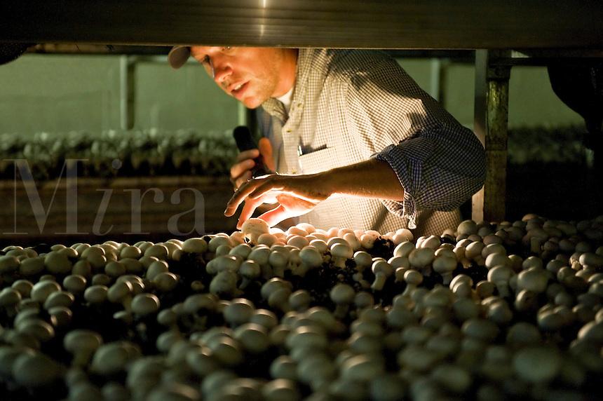 Mushroom farmer checks on the readiness of white button mushrooms for harvet, Kennet Saquare, Pennsylvania, PA, USA