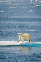 Male Polar Bear, Ursus maritimus, walking on iceberg, Baffin Island, Canada, Arctic Ocean