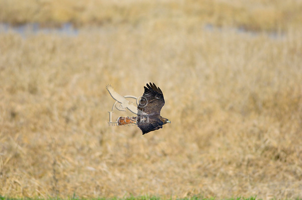 Red-tailed Hawk (Buteo jamaicensis).  Western U.S., fall.