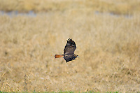 Red-tailed Hawk (Buteo jamaicensis).  Western U.S., fall.