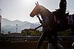 SHA TIN,HONG KONG-DECEMBER 09: Staphanos,trained by Hideaki Fujiwara,exercises in preparation for the Hong Kong Cup at Sha Tin Racecourse on December 9,2016 in Sha Tin,New Territories,Hong Kong (Photo by Kaz Ishida/Eclipse Sportswire/Getty Images)