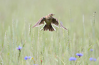 Feldlerche, Feld-Lerche, Lerche, im Flug über einem Acker, Flugbild, Alauda arvensis, Skylark, Lark, Alouette des champs