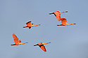 A small flock of roseatte spoonbills (Ajaia ajaja) in flight. Paraguay River, Taiama Reserve, Western Pantanal, Mato Grosso, Brazil,