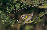 Golden-winged Warbler, Vermivora chrysoptera,female, South Padre Island, Texas, USA, May 2005