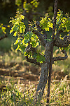 Head-trained old grape vines bud new leaves in spring, Shenandoah Valley, Calif.