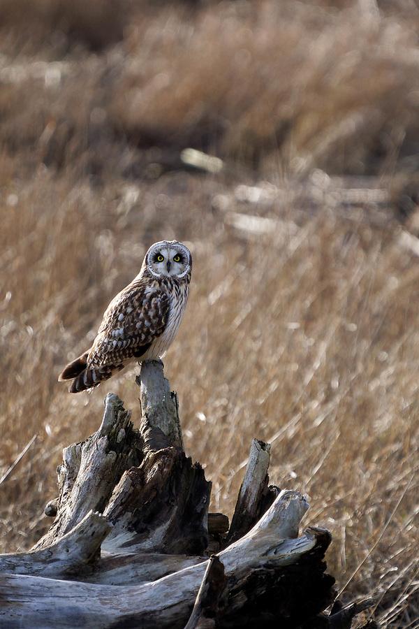 Short-eared owl (Asio flammeus) perched on driftwood in marsh, Fir Island, Skagit County, Washington, USA