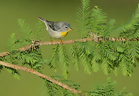 Northern Parula (Parula americana), adult female, South Padre Island, Texas, USA