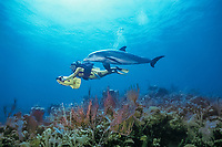 JoJo, a wild sociable bottlenose dolphin, Tursiops truncatus, or ambassador dolphin, swims with a friend off Providenciales (Provo), Turks and Caicos Islands, Caribbean Sea, (W. Atlantic Ocean)