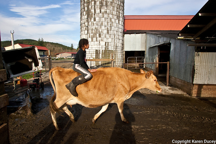 Faith Estrella, 11 rides a cow named Lover into the barn as it comes in from pasture at the Estrella Family Creamery in Montesano,Wash.  on November 4, 2010.  Every cow has a name on the farm.  The Food and Drug Administration ordered the Estrella Family Creamery in Montesano,Wash.  to stop processing cheeses after it found listeria bacteria on some of the cheeses this year.  The family says they have made many renovations on the farm and the bacteria is only found on the soft cheese, not everything.  They believe they should be allowed to resume making cheese and sell the hard cheeses they have already made at the facility.  The creamery is one of Washington's most famous artisan cheesemakers.  (photo credit Karen Ducey). .