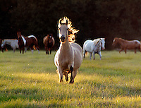 Herd of mixed breed mares in late afternoon sunlight.
