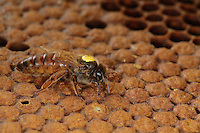 View of a queen alone on a capped brood comb.