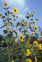 Sunflowers against blue sky and clouds in sun, Helianthus annuus, branching variety