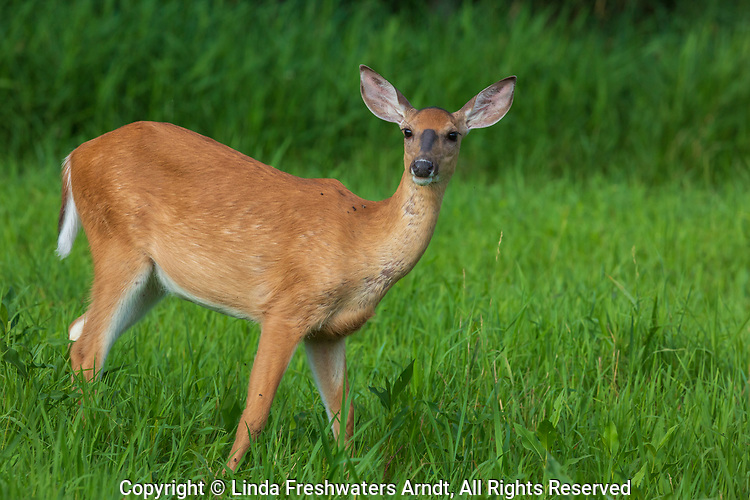 White-tailed doe standing alert in a northern Wisconsin field.