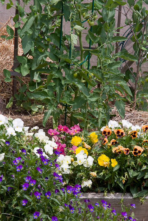 Straw mulched raised flower and vegetable garden bed with marigold, tomatoes in cages, johnny jump up violas