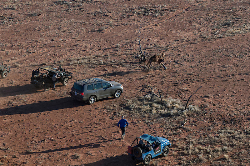 Camel catchers and wild camel, mustered and caught by hand and 4wd in the Australian desert, Central Australia, Northern Territory, Australia.