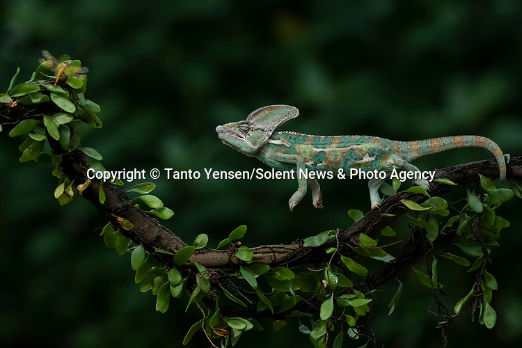 SEQUENCE 1 OF 9:  A chameleon balances on a thin branch as it catches a dragonfly with its long and sticky tongue.  The brightly patterned reptile leans forward to strike at the small orange insect.<br /> <br /> The images were captured by professional photographer Tanto Yensen, in Jakarta, Indonesia.   SEE OUR COPY FOR DETAILS<br /> <br /> Please byline: Tanto Yensen/Solent News<br /> <br /> © Tanto Yensen/Solent News & Photo Agency<br /> UK +44 (0) 2380 458800