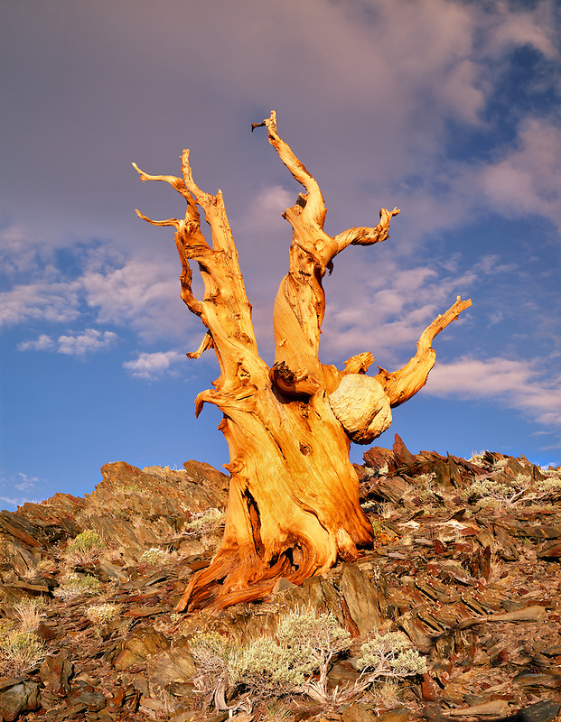 Bristlecone Pine with last light of day. Ancient Bristlecone Pine Forest. White Mountains, California.