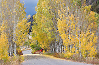Road through fall colored aspens with photographer. Montana