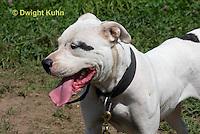 SH40-615z  American Bulldog, Close-up of face,  Canis lupus familiaris