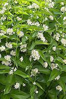 Weisse Schwalbenwurz, Weiße Schwalbenwurz, Vincetoxicum hirundinaria, White Swallowwort