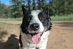 """Rooster, a Karelian bear dog, waits for the release a bear west of Carson City, Nev., on Sunday, May 25, 2014. The 8-year-old female bear was """"intercepted early in the cycle of conflict behavior"""" and subjected to aversion training. <br /> Photo by Cathleen Allison"""