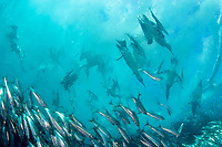 Cape gannets, Sula capensis, plunge into a baitball of sardines, Sardinops sagax, to feed on fish driven to the surface by dolphins and sharks, Sardine Run, Transkei, South Africa, (Indian Ocean) (do)