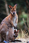 A Red-necked wallaby with a joey in her pouch.