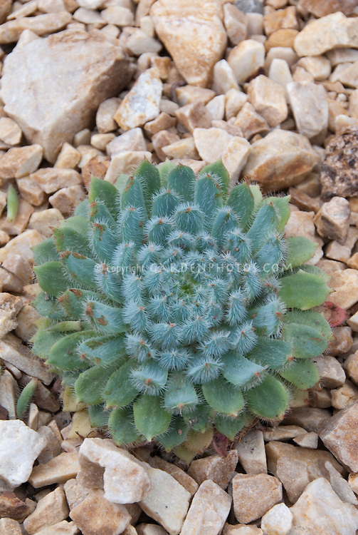 Succulent Firecracker plant Echeveria setosa