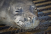 A close-up of a Hawaiian monk seal (Monachus schauinslandi) basking on a boat ramp, Honokohau Harbor, Kona Coast, Big Island