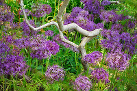 Ornamental onion and tree branch. Bourton House Garden. The Cotswolds, England