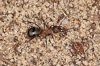 Waldameise, Rote Waldameise, Formica spec., (F. rufa oder F. polyctena), wood ant, Wood Ants, Formica sensu stricto