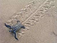leatherback sea turtle hatchling, Dermochelys coriacea, running to the sea, Dominica, Caribbean Sea, Atlantic Ocean