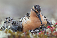 Red Knot (Calidris canutus rogersi) brooding newly hatched chicks at the nest. Chukotka, Russia. June.