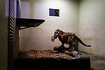 Tinka the tigress holds her meal between her jaws. Due to a coronavirus pandemic (COVID-19), the Servion zoo is closed to the public. Servion, Switzerland, April 30, 2020.<br /> Tinka la tigresse tient son repas entre ses machoires. Pour cause de pandemie de coronavirus(COVID-19), le zoo de Servion est ferme au public. Servion, Suisse, le 30 avril 2020.