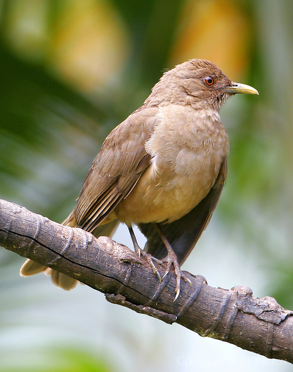 Adult male clay-colored robin