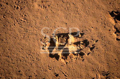 Pantanal, Mato Grosso State, Brazil; footprint of a jaguar in the fresh sand of the river bank.