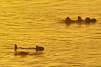 Sea Otter (Enhydra lutris).  Sunrise.  California. .