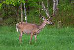 A pregnant white-tailed doe in a northern Wisconsin field.