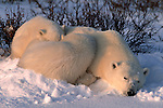 Two polar bear cubs snuggle with their mother as she sleeps in Canada.