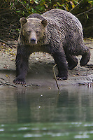 Grizzly Bear walking along the Mitchell River