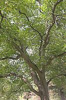 Walnuss, Walnuß, Wal-Nuss, Wal-Nuß, Walnuss-Baum, Blick in die Baumkrone, Juglans regia, Walnut, Noyer commun