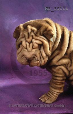 Interlitho, Alberto, ANIMALS, dogs, photos, shar pei, violet fond(KL15111,#A#) Hunde, perros