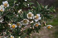 Crossosoma californicum - California Crossosoma - flowering California native rare shrub