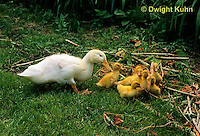 DG20-103z  Pekin Duck - six day old ducklings with adult