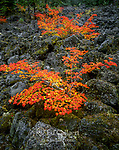 Vine Maple, Lava Rock, Three Sisters Wilderness, Willamette-Deschutes National Forest, O