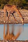 Giraffe at waterhole, Etosha National Park, Namibia.