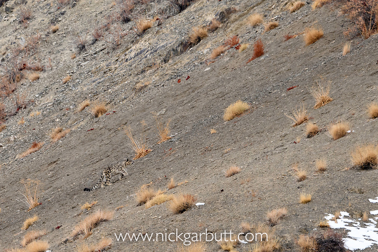 Male snow leopard (Panthera uncia)(formerly Uncia uncia) moving across mountain slope. Ladakh Ranges, Himalayas, Ladakh, India.
