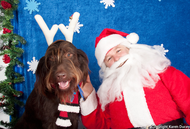 Rossi, a chocolate labradoodle, is photographed with Santa at a fundraiser for Dogs Deserve Better at Pet Pros in Redmond, WA on December 12, 2010. (photo by Karen Ducey)
