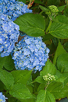 Blue flowers of summer blooming shrub mophead Hydrangea macrophylla 'Nantucket Blue, repeat bloomer shrub with blue flowers, thick leathery leaves