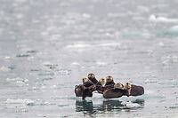A group of sea otters hauled out on a floating iceberg in Harriman Fjord, Prince William Sound, southcentral, Alaska.